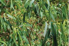 Εικόνα της ΕΥΚΑΛΥΠΤΟΣ  (Eucalyptus)