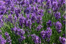 Εικόνα της ΛΕΒΑΝΤΑ (Lavender)
